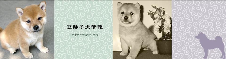 豆柴子犬情報